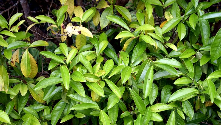 camellia sinensis assamica