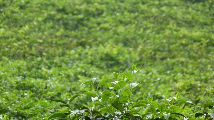 camellia sinensis plant for weight loss tea