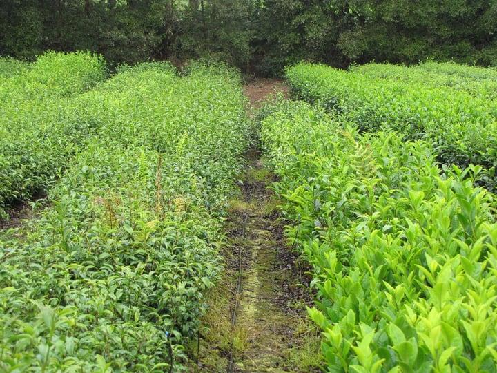 camellia sinensis sinensis