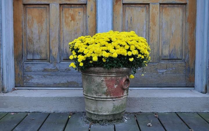 chrysanthemums at home