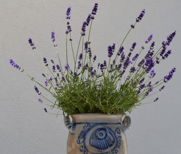 lavender plant at home