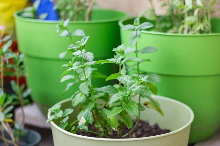 mint plant on small pot