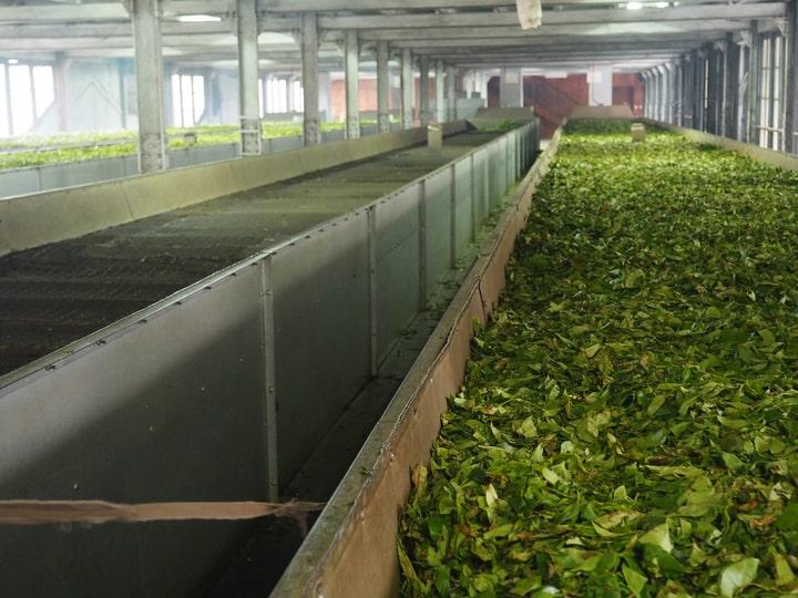 tea fermenting