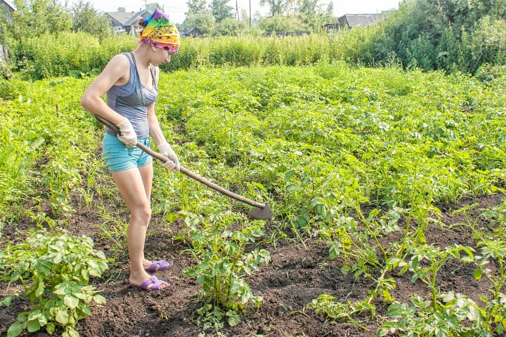 woman using a hoe to slice pesky weeds on potato garden