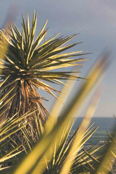 yucca plant guide