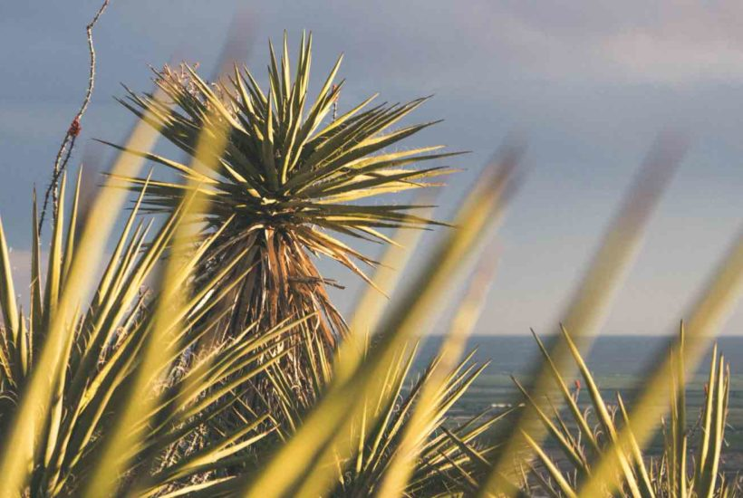 Yucca Plants How To Take Care