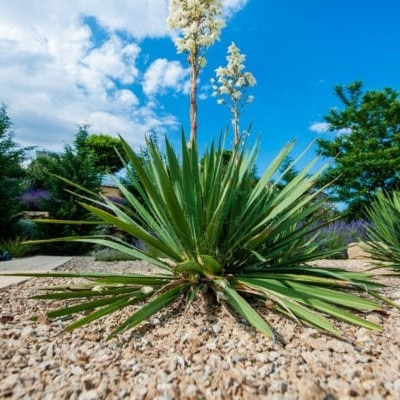 yucca plants house