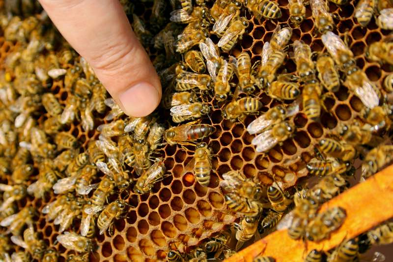 types of bees in a beehive queen bees