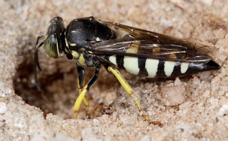 sand wasps