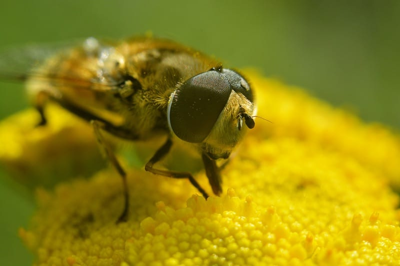 yellow faced bees