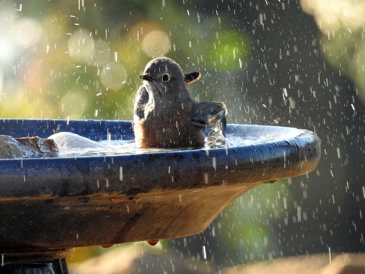 a brown bird bathing on a birdbath