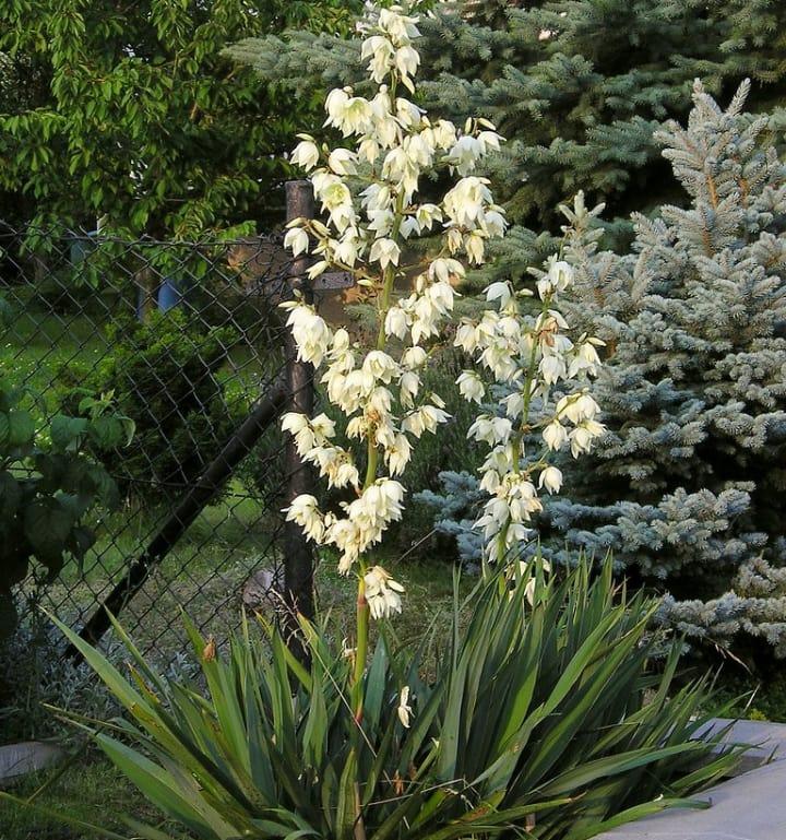 adams needle yucca filamentosa plant
