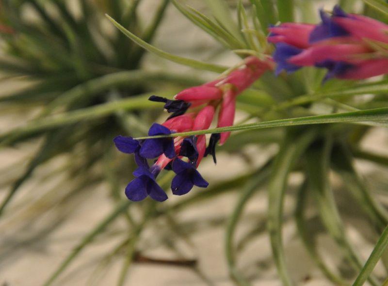 aeranthos gardening
