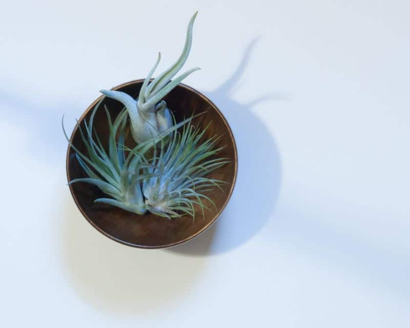 types of air plants
