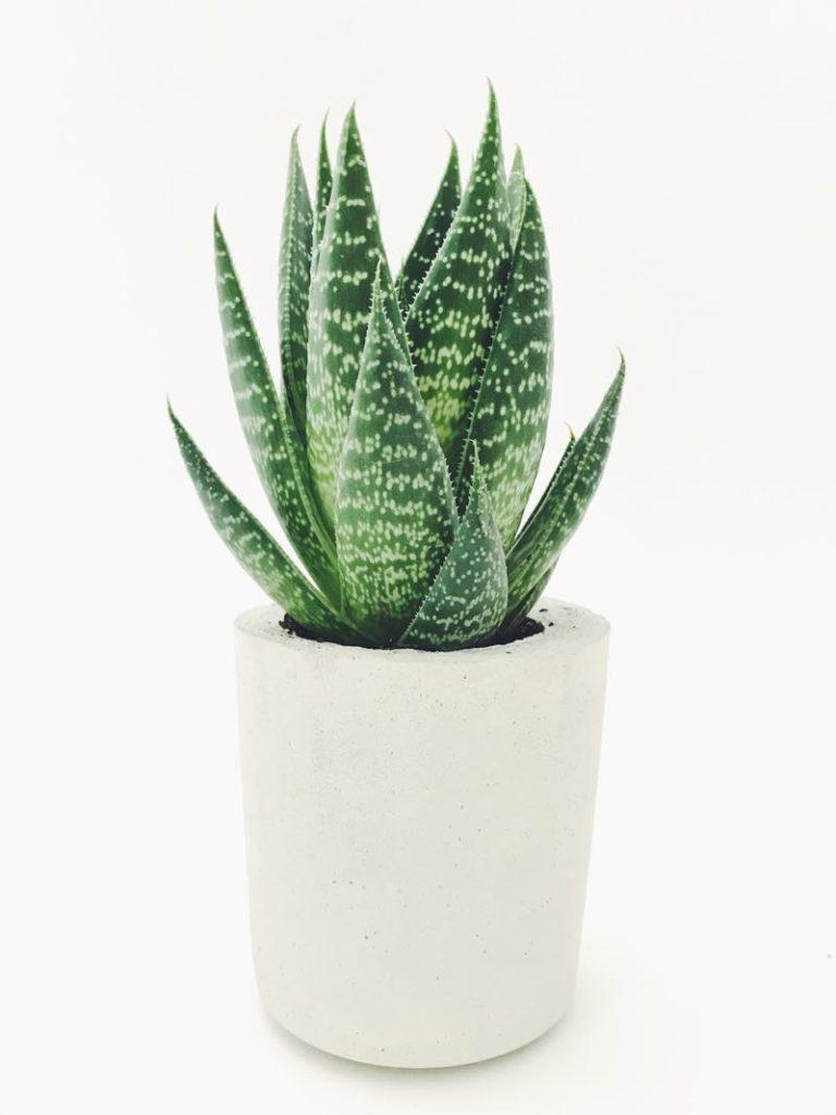 aloe vera plant for bedroom