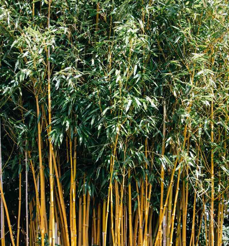 bamboo for zen garden