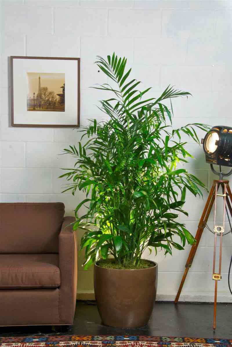 bamboo palm plant for bedroom