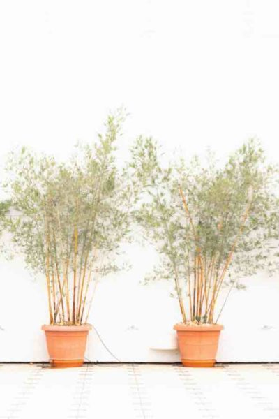 bamboo plant guide