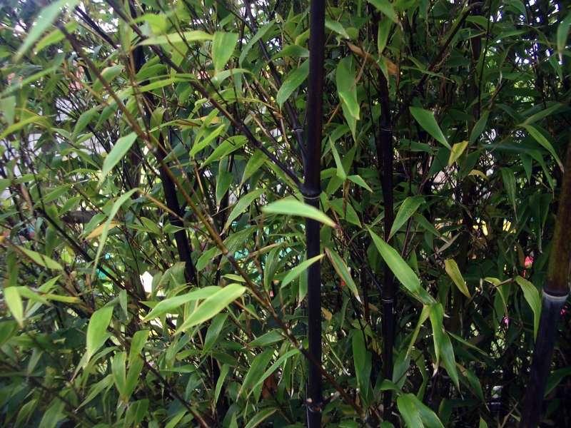 black bamboo indoor plant