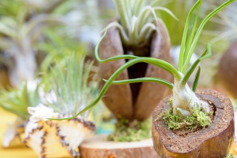 how to grow bulbosa air plant