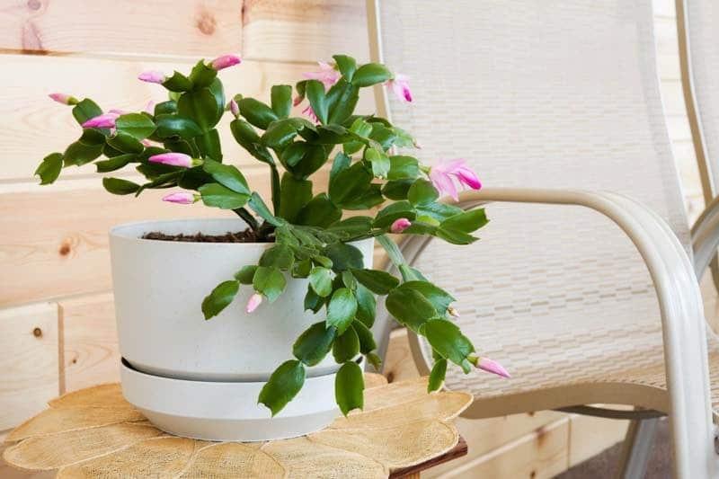 christmas cactus bedroom plant