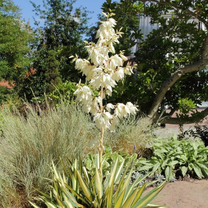 color guard yucca filamentosa