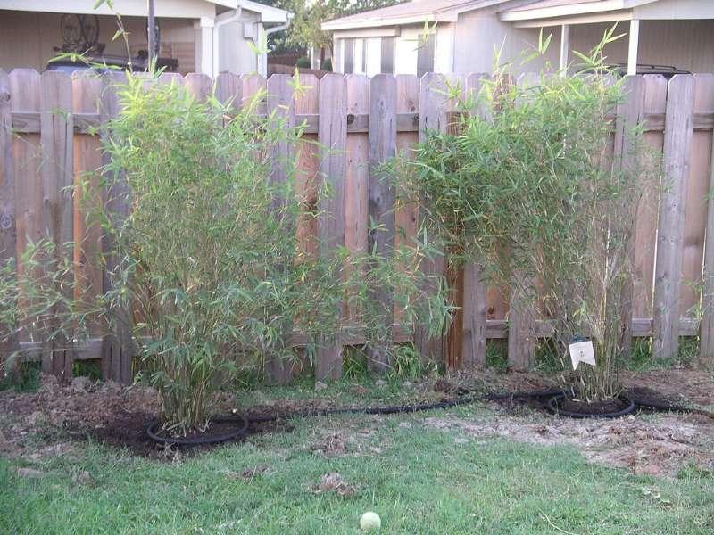 golden goddess bamboo care