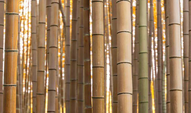 golden grove bamboo