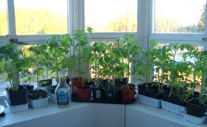 growing tomatoes on the window