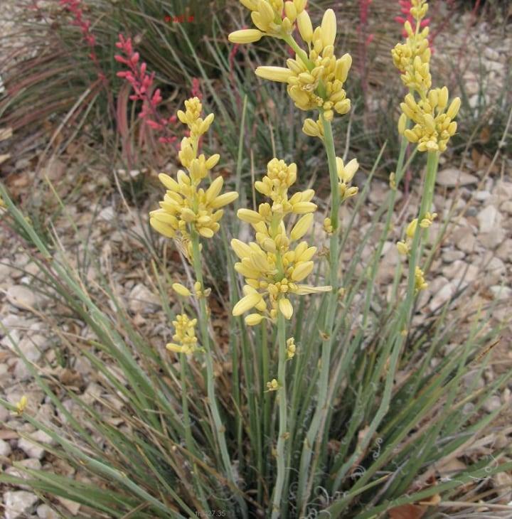hesperaloe parviflora yellow yucca plant