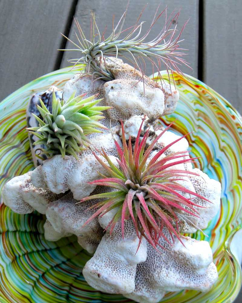 how to clean air plants