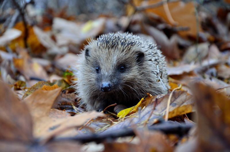 hedgehog in secret garden