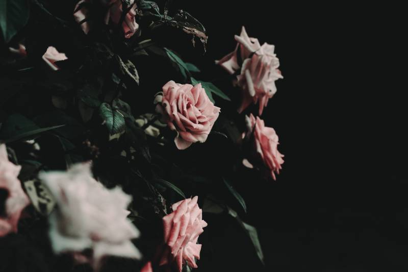 rose bush garden