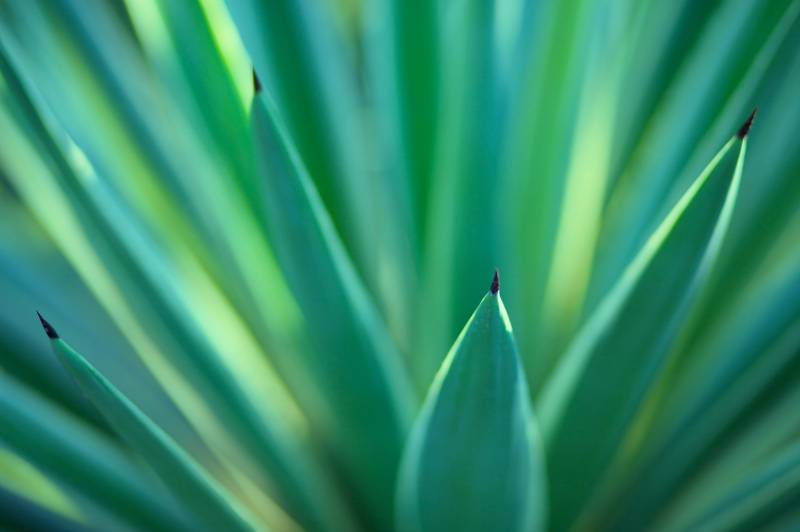spiney yucca