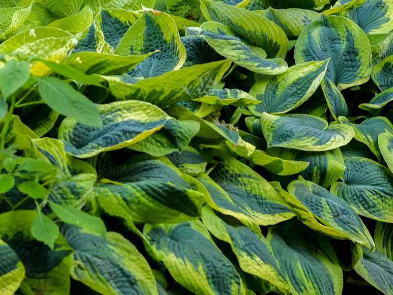 Hosta garden plant