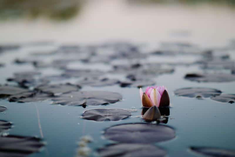 Japanese garden lotus flowers