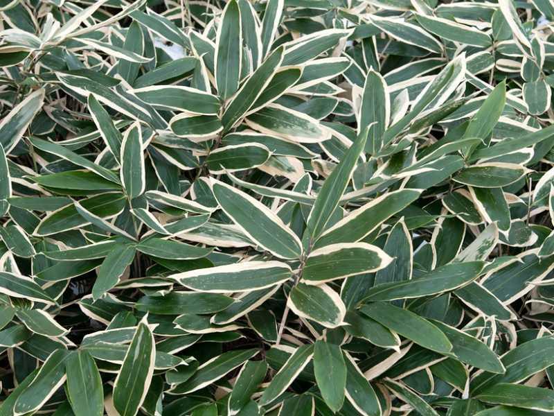 kuma bamboo plant