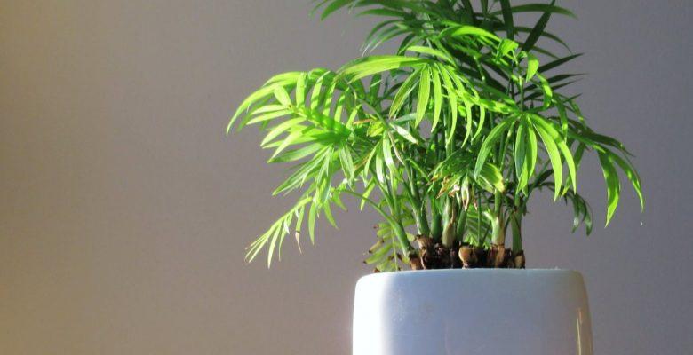 mini bamboo plant on a white ceramic pot