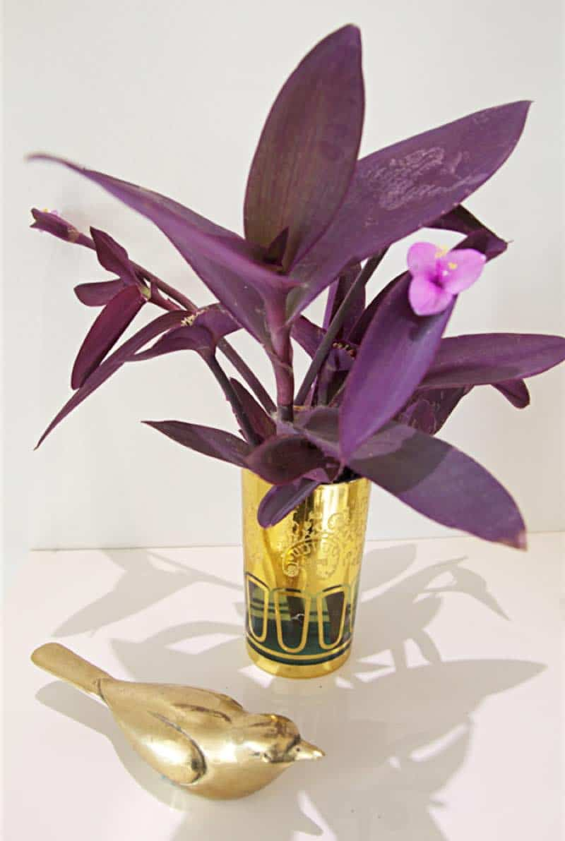 purple heart plant for bedroom