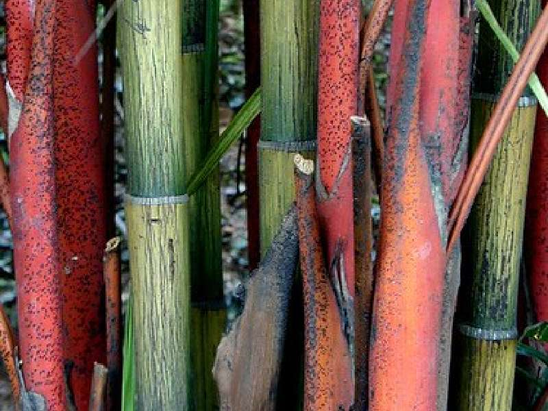 red margin bamboo plant