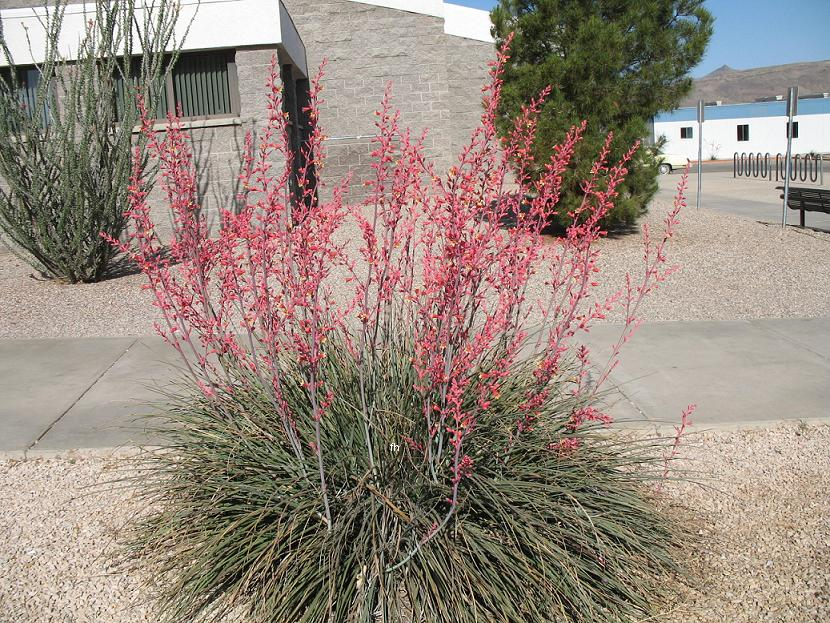 red yucca plant hesperaloe parviflora