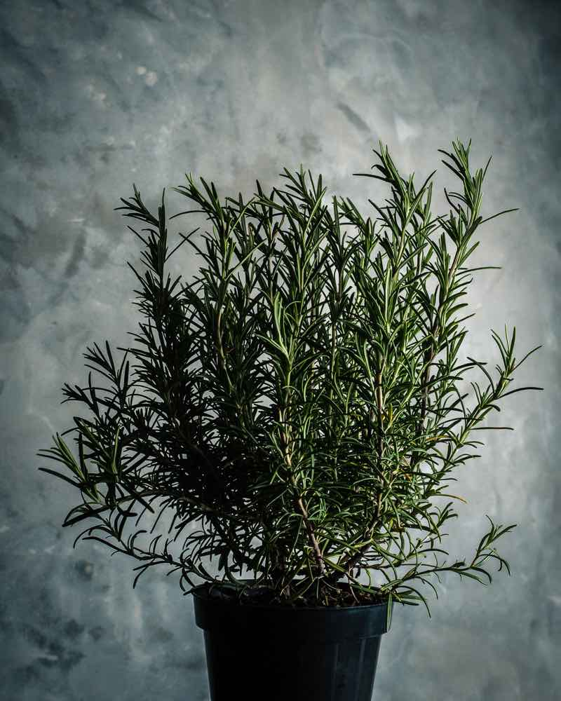 rosemary plants for bedroom
