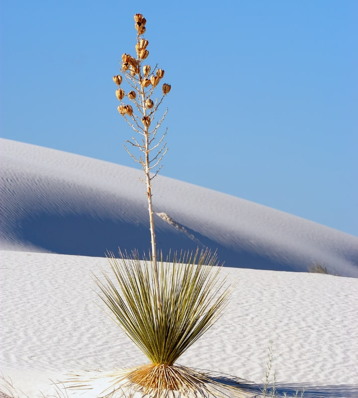 soaptree yucca elata