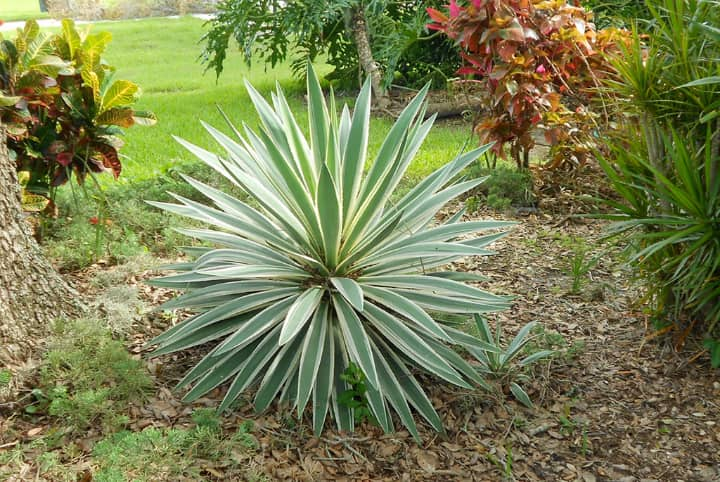 spanish bayonet yucca aloifolia