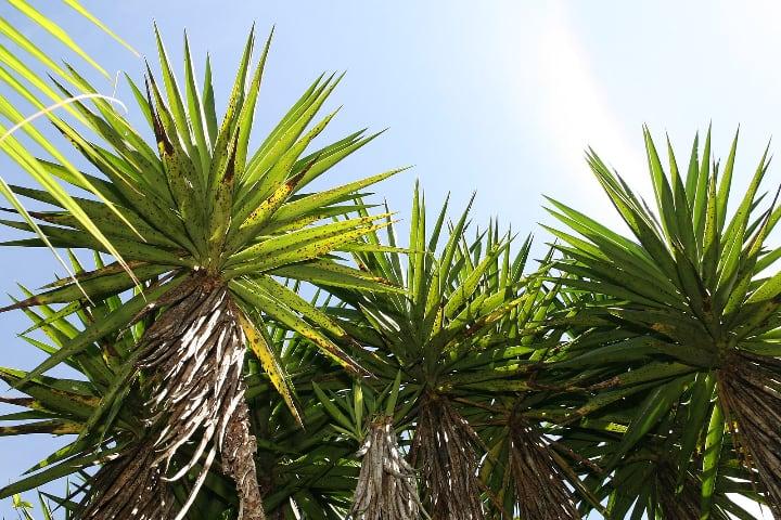 spineless yucca elephantipes