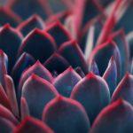 succulent plant macro shot