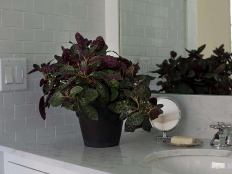 waffle plant low light houseplant