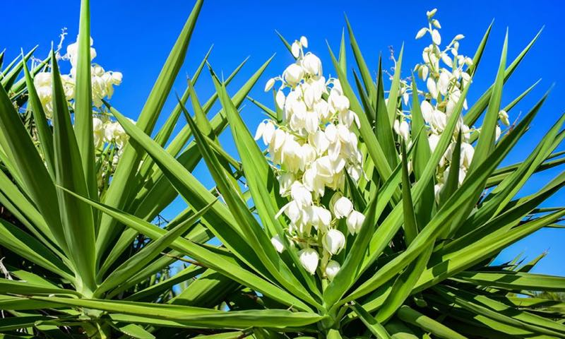 benefits of yucca flower plants