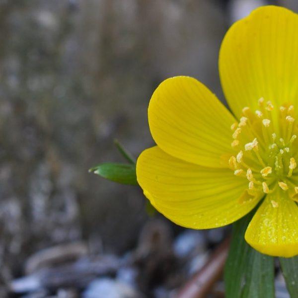 blooming yellow potentilla