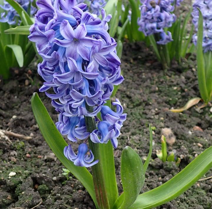blue jacket hyacinth